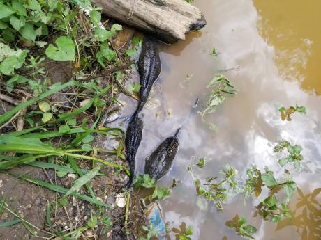Dead fish are seen in the Rio Cobre on Monday.