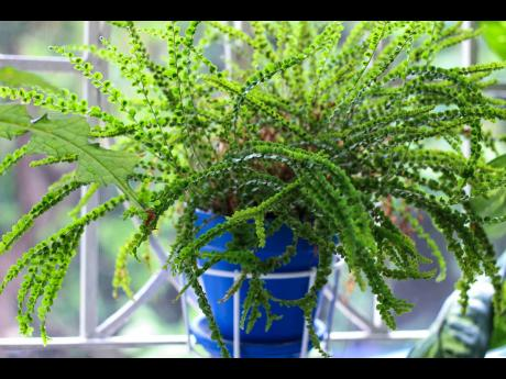 The button fern is beautiful when it receives proper care. It loves water but does not like soggy soil. It also does not thrive in direct sunlight.
