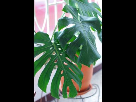 The Monstera are common house plants that can brighten up an entire space.