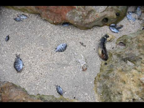 Dead fishes along the shoreline of the Hellshire Fishing Beach in St Catherine last Tuesday. Fisherfolk says that it seems like the sea was polluted with substance that killed the fishes and forced other sea creatures to crawl out of the water to die.