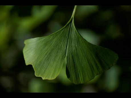 """A distinctive fan-shaped ginkgo leaf in the Fossils Atmospheres Project is seen in the morning sun at the Smithsonian Research Center in Edgewater, Md., Tuesday, May 18, 2021. """"Ginkgo is a pretty unique time capsule,"""" said Peter Crane, a Yale Universi"""