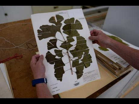 Rich Barclay, Smithsonian research geologist and Director of the Fossil Atmospheres Project, holds a display of ginkgo leaves taken from a tree in S.W. Washington D.C., in 1988.