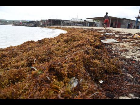 Sargassum washed up along the shoreline of Hellshire Beach in St Catherine.