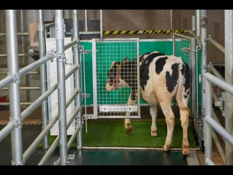 In this undated photo provided by the Research Institute for Farm Animal Biology in Dummerstorf, Germany, a calf enters an astroturf-covered pen nicknamed 'MooLoo' to urinate. The scientists, mimicking the process of putting a toddler on the potty unti