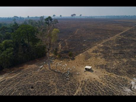 In this August 23, 2020 file photo, cattle graze on land recently burned and deforested by cattle farmers near Novo Progresso, Para state, Brazil.