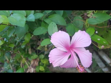 Colours of nature – a pink hibiscus in bloom.