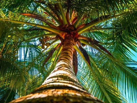 Coconut trees dot the beach and not only help to reduce erosion, but provide refreshing libations for guests.