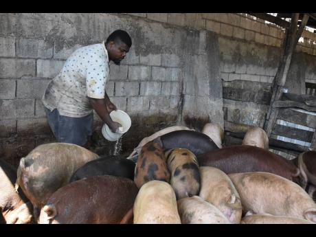 Lunch time! Kingston pig farmer Bill feeds his livestock on Saturday. Small farmers like Bill have been hit by several increases in pig feed.
