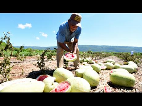 Watermelon farmer Curtis Binns examines the inside of some of his spoilt fruits as he tallies up losses from a mystery disease affecting the crop.