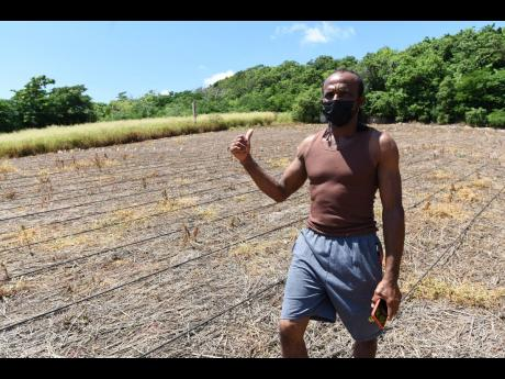 Lawrence Morgan, a watermelon farmer in Comma Pen, Junction, St Elizabeth, has started to prepare lands to plant again after he lost an entire crop to a mystery disease.